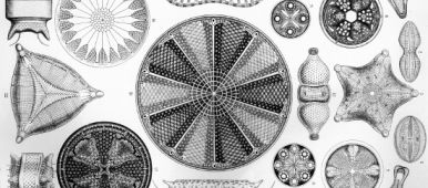 haeckel_diatomea_4