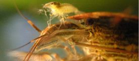 pic-11-young-woodshrimp-on-the-head-of-the-adult